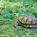 """Eastern Box Turtle"" by WildAboutNaturePhotography"