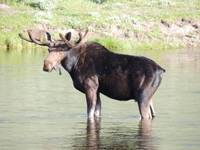A Moose just chillin
