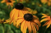 Black Eyed Susans on a Lazy Summer Day