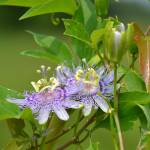 """Wild Passion Flowers"" by rderder"