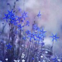 """bluebell heaven"" by Piri"