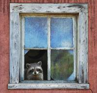 gentle denizen - raccoon