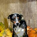 """Australian Cattle Dog Sheltie Mix"" by OneRudeDawg"