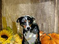 Australian Cattle Dog Sheltie Mix