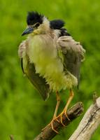 Fluffy Black-crowned Night Heron