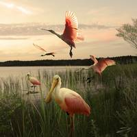 Roseate Spoonbills on Lake Tarpon