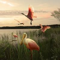"""Roseate Spoonbills on Lake Tarpon"" by spadecaller"