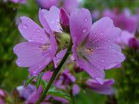 Checker mallow sidalcea