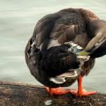 """Mallard Duck 072"" by waterfowlalexandriava"