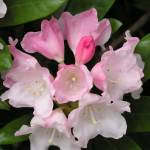 """Rhododendron in May"" by bettymackey"
