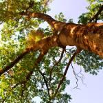 """""""Oak Tree"""" by katielynn21"""