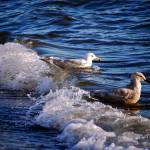 """Seagull Surf"" by raetucker"