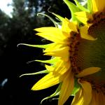 """""""Sunflower Petals"""" by ksummers"""