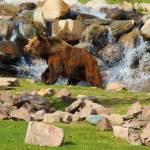 """Grizzly Enjoying A Hot Day"" by artsandi"