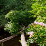 """""""Wild Rose at the River Edge"""" by madworld"""