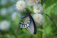 Pipevine Swallowtail on Buttonbush