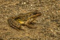 Pickerel Frog in HDR (Rana palustris)