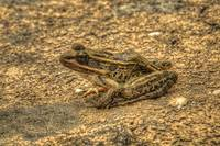 Pickerel Frog  in HDR