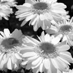 """""""Bunch of Daisies"""" by MzEmCab"""