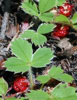 Wild Strawberries, Mt Rainier Ntl. Park