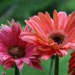 """Pink Gerbera Daisies"" by greatcaptures"