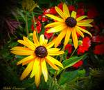 Brown Eyed Susans by micspics444