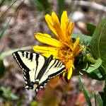 """Butterfly on Mulesear flower"" by SamSherman"