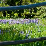"""Lupine framed in rail fence"" by SamSherman"