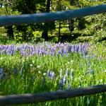 """Lupine framed in rail fence"" by SamSherman"