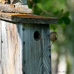 """House Wren preparing to feed young"" by SamSherman"