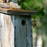 House Wren preparing to feed young