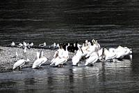 Herons on the Snake River