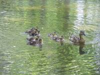 Mother Duck with little Ducklings