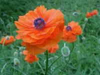 Prince of Orange Oriental Poppies