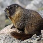 """Marmot, on top of the world."" by justnaturephotography"