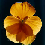 """Pansy"" by christine_thomas"