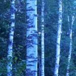"""Birch Trees 1"" by ShaneWells"