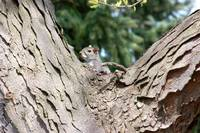Squirrel in a Tree Photo