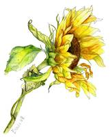 Solitary Sunflower