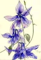 Blue Columbine Flowers
