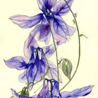 Blue Columbine Flowers Art Prints & Posters by Esmee van Breugel