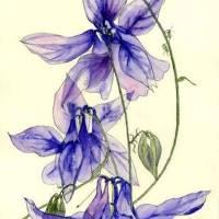 Blue Columbine Flowers Art Prints & Posters by Esmee van Breugel