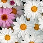 """""""Daisy Maze"""" by DonnaPagakis"""