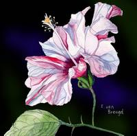 Pale Pink Hibiscus Flower Against a dark Backgroun
