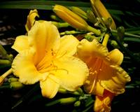 Two Yellow Tiger Lilies