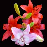 """Red & Pink Lilies"" by budo"