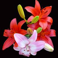 Red & Pink Lilies