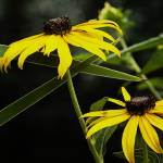 """Susans in the Garden"" by FCushmanPhoto"