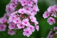 Pink Garden Phlox Flower Close-up