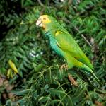 """""""Amazona barbadensis"""" by parrots"""